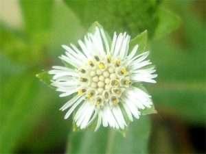 Bhringaraaja Ayurvedic herb for hair loss and greying