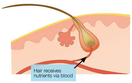 Hair receive nutrients via bloodstream
