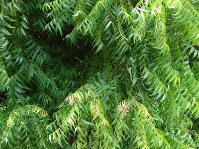 Neem Ayurveda herb for hair growth and lice